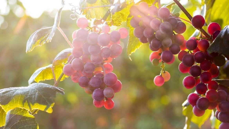 red grapes tree fruit wallpaper hd for desktop