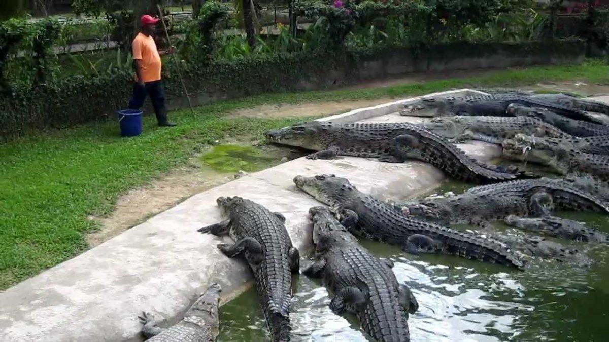 Crocodile Feeding at Langkawi